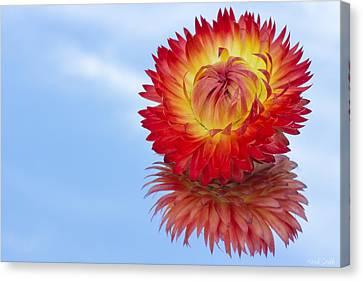 Strawflower Reflection Canvas Print by Heidi Smith