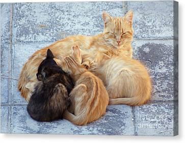 Stray Cats 3 Canvas Print by Rod Jones