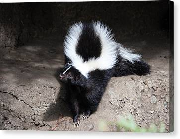 Striped Skunk - 0002 Canvas Print by S and S Photo