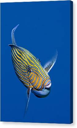 Striped Surgeonfish Canvas Print