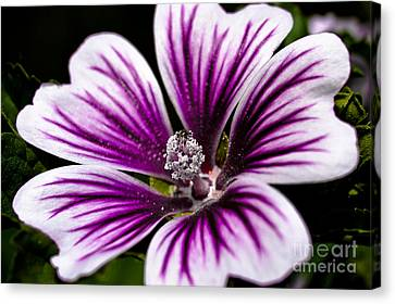 Stripped Blossom Canvas Print by Larry Carr