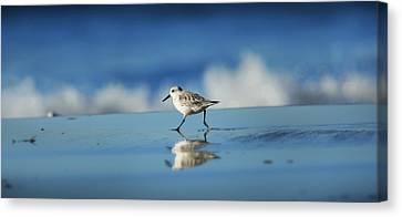 Strolling Shorebird Canvas Print by Steve Munch