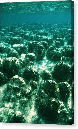Stromatolites Canvas Print by Peter Scoones