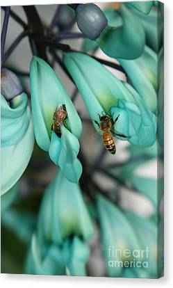 Strongylodon Macrobotrys - Blue Jade Vine  Canvas Print by Sharon Mau