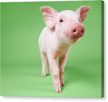 Studio Cut Out Of A Piglet Standing Canvas Print by Digital Vision.