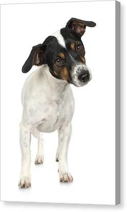 Studio Portrait Of Smooth Fox Terrier Puppy Canvas Print by Jupiterimages