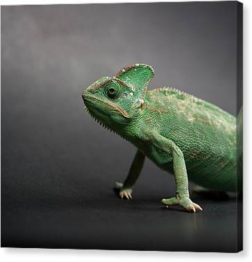 Studio Shot Of Chameleon Canvas Print by Sarune Zurba