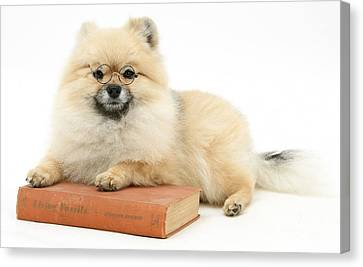 Studious Pomeranian Canvas Print by Mark Taylor
