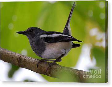 Canvas Print featuring the photograph Study Of A Magpie-robin by Fotosas Photography