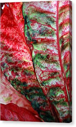 Study Of The Croton 1 Canvas Print