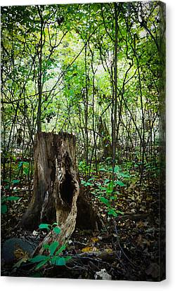 Stumped In The Woods Canvas Print by David Hahn