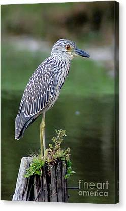 Stumped Night Heron Canvas Print by Benanne Stiens
