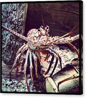 Suddenly, I Want Seafood.... #lobster Canvas Print by Kel Hill