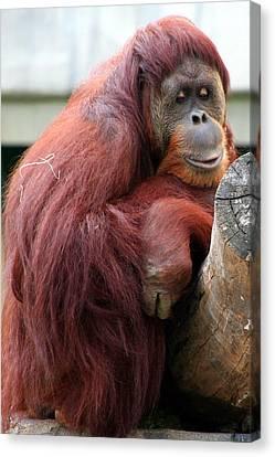 Sumatran Orangutan Canvas Print by Laurel Talabere