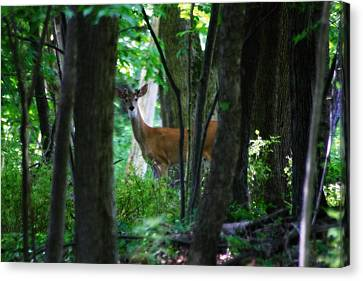 Summer Buck 1 Canvas Print by Scott Hovind