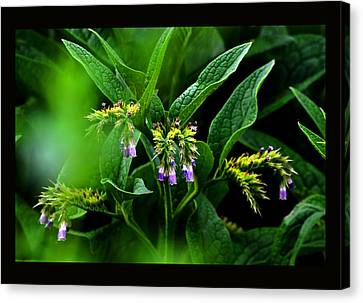 Canvas Print featuring the photograph Summer Comfrey Blooms by Susanne Still