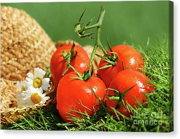 Summer Tomatoes Canvas Print by Sandra Cunningham