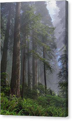 Sun Breaking On Redwoods Canvas Print
