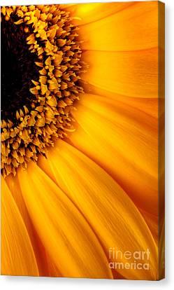 Sun Burst - Sunflower Canvas Print by Martin Williams