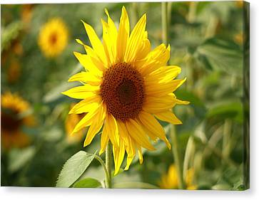 Canvas Print featuring the photograph Sun Flower by Coby Cooper