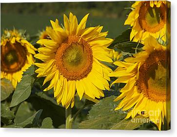 Canvas Print featuring the photograph Sun Flower by William Norton