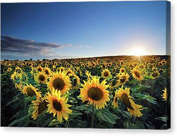 Sun Setting Over Sunflower Field Canvas Print by Andreas Jones