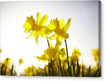 Sun Shining Behind Yellow Daffodils Canvas Print by Ron Bambridge