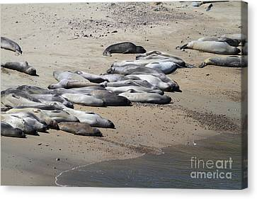 Sunbathing Elephant Seals Along A Beach At Point Reyes California . 7d16063 Canvas Print by Wingsdomain Art and Photography