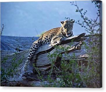 Sunbathing Leopard Canvas Print