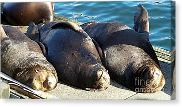 Sunbathing Sea Lions Canvas Print by Chalet Roome-Rigdon