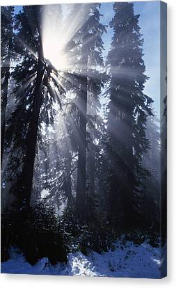 Sunbeams Through Pine Trees Canvas Print by Natural Selection Craig Tuttle
