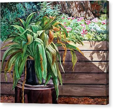 Sunburnt Kaffir Lily Canvas Print by Peter Sit