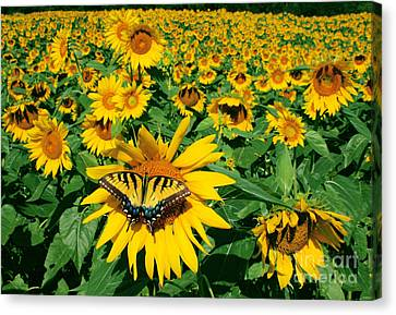 Sunday Afternoon Canvas Print by Gina Signore