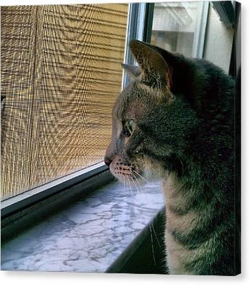 #sunday #cat #kitty #window #gaze Canvas Print by Arayon Shaw