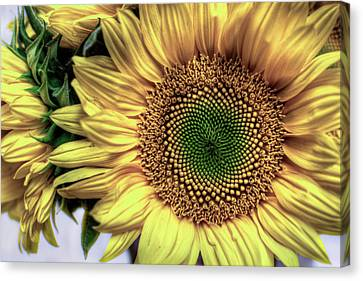 Sunflower 28 Canvas Print by Natasha Bishop