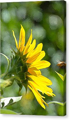 Sunflower 3 Canvas Print by Pamela Cooper