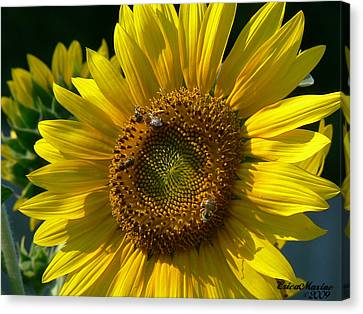 Sunflower 4 Canvas Print by EricaMaxine  Price