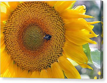 Sunflower And A Bumblebee Canvas Print by Aleksandr Volkov