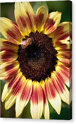 Canvas Print featuring the photograph Sunflower by Anna Rumiantseva