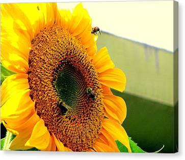 Sunflower Bees Canvas Print by Amy Bradley