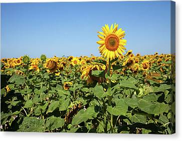 Sunflower Canvas Print by Billy Currie Photography