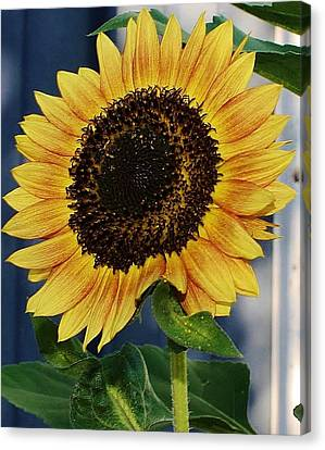 Sunflower Canvas Print by Bruce Bley