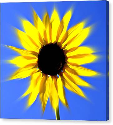 Sunflower Burst Canvas Print by Marty Koch