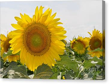 Sunflower Canvas Print by Cheryl McClure