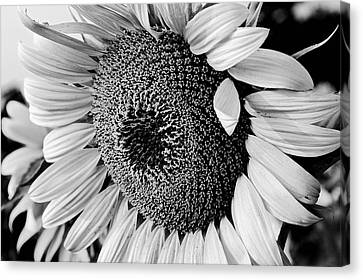 Canvas Print featuring the photograph Sunflower by Dan Wells