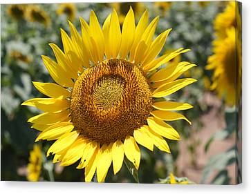 Canvas Print featuring the photograph Sunflower by Donna  Smith