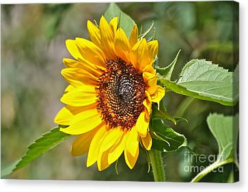 Canvas Print featuring the photograph Sunflower by Eve Spring