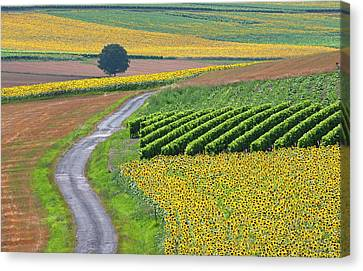 Sunflower Field And Road Canvas Print by Peter Smith Images