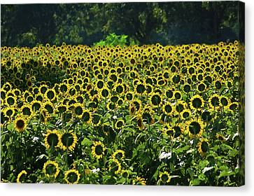 Cotton Farm Canvas Print - Sunflower Field Closeup by Michael Thomas