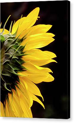Sunflower From Side Canvas Print by John Brink